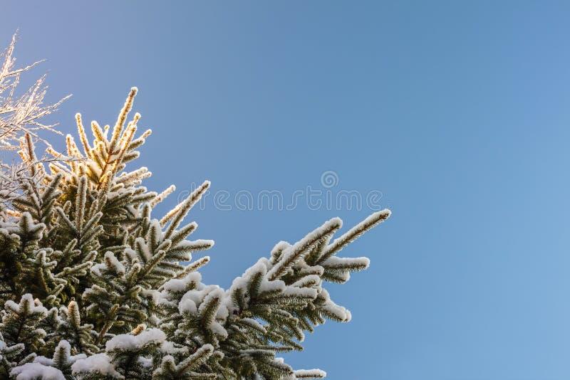 Snow täckt gran förgrena sig i vinter arkivbilder