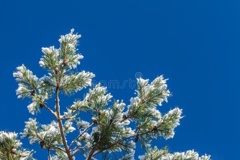 Snow täckt gran förgrena sig i vinter arkivfoto