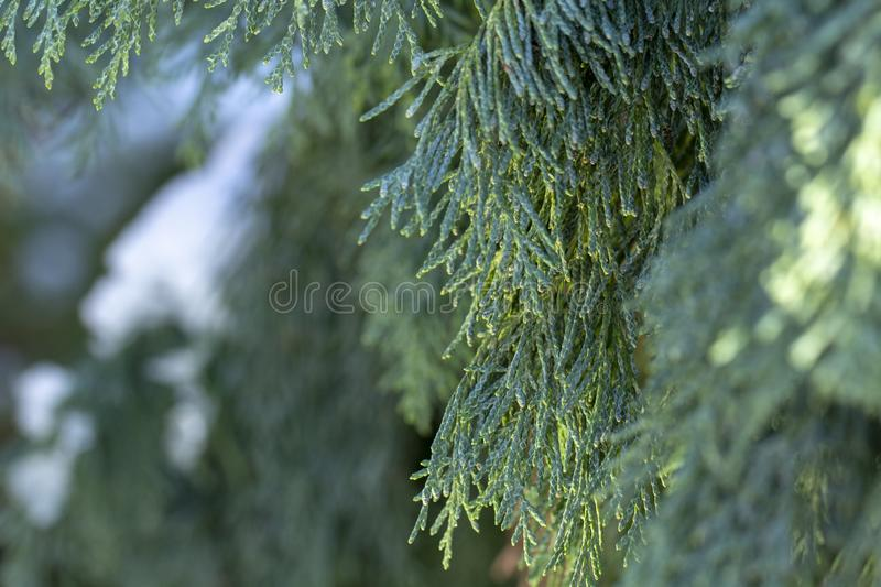 Snow thuja branches christmas In the public park. Close-up stock photo