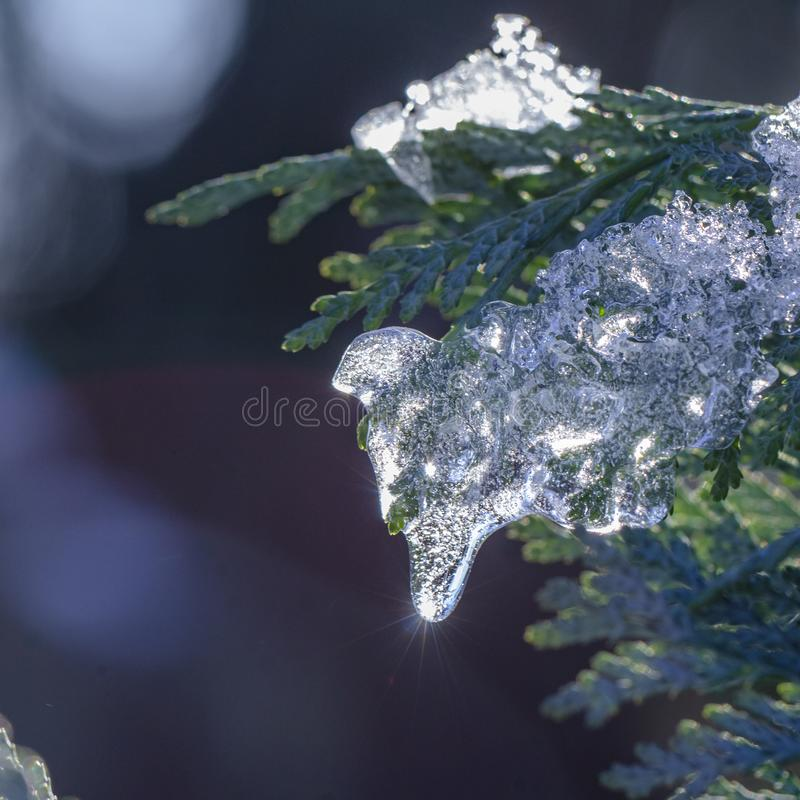 Snow thuja branches christmas In the public park. Close-up stock images