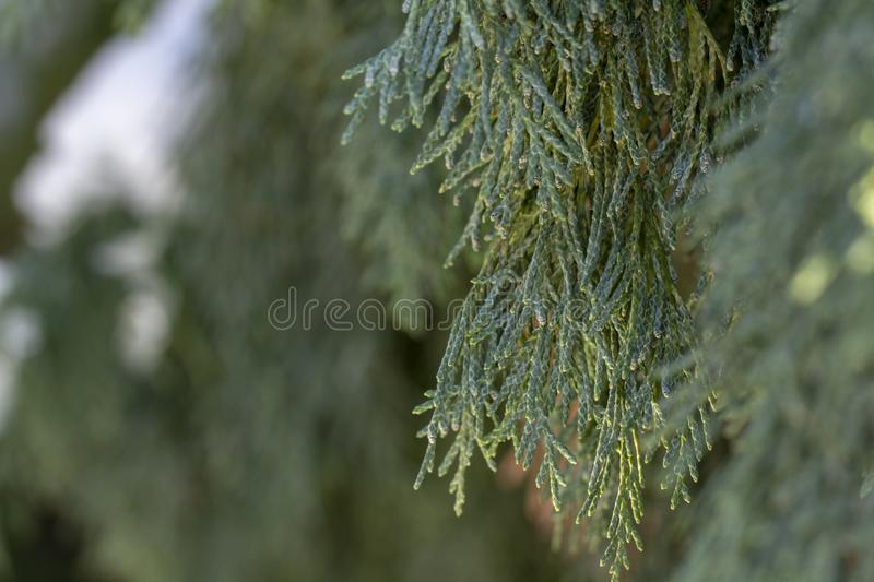 Snow thuja branches christmas In the public park. Close-up stock photos