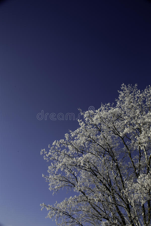 Snow on tree Branches. In the morning after a snow fall. A deep blue sky is in the background stock images