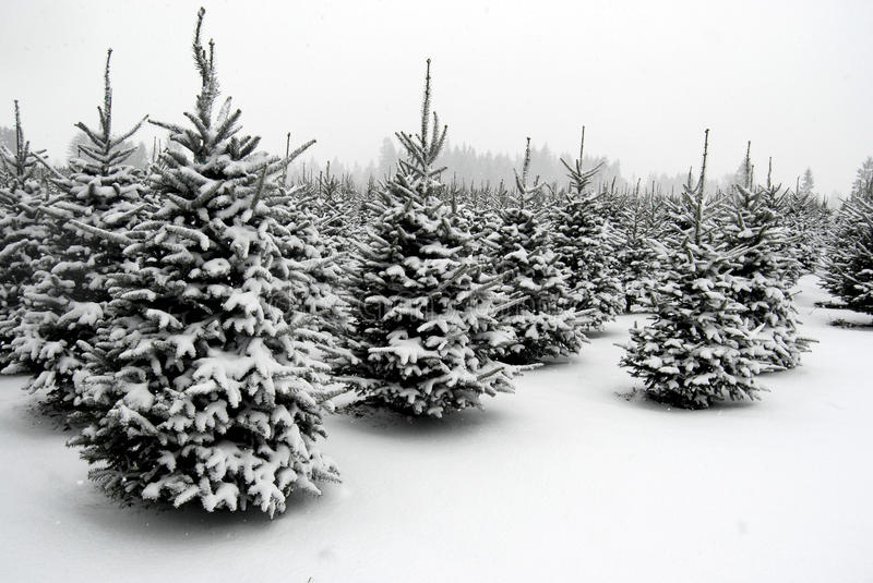 Snow at the tree farm royalty free stock images
