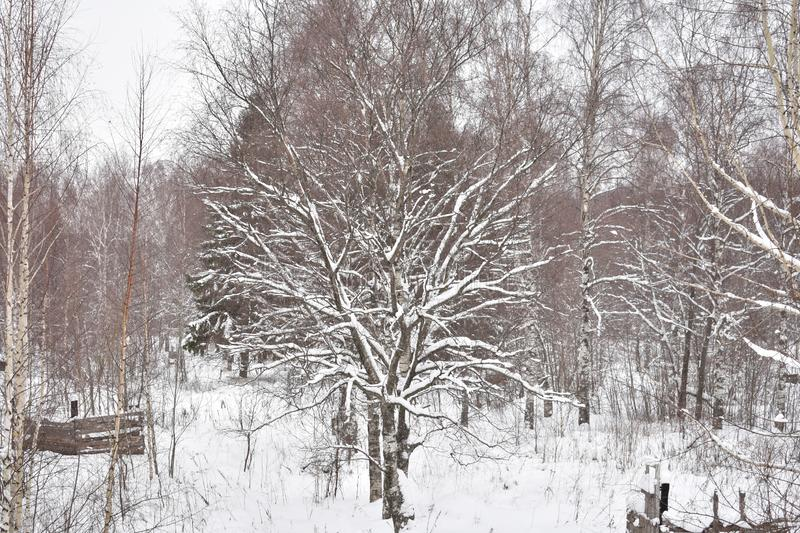 Snow tree in the winter forest stock images
