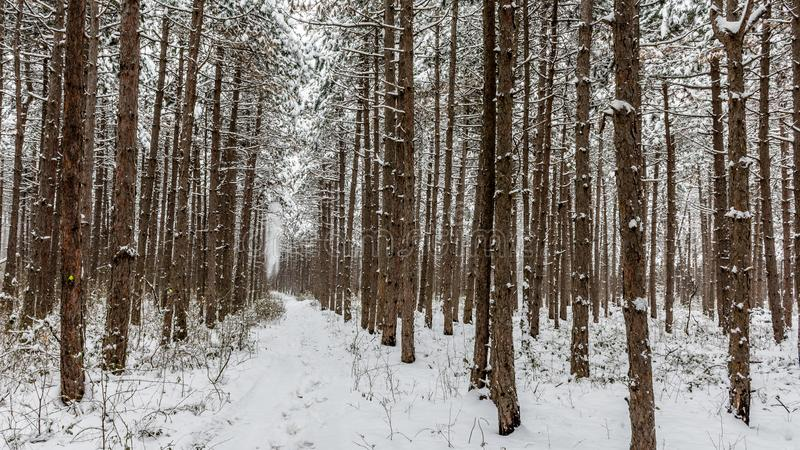 Snowy pine forest. The snow from the trees was beginning to fall and I felt like hunter - chasing each falling snow in order to capture it. It was cold, but nice stock images