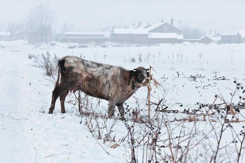 Snow Village Cattle royalty free stock photography