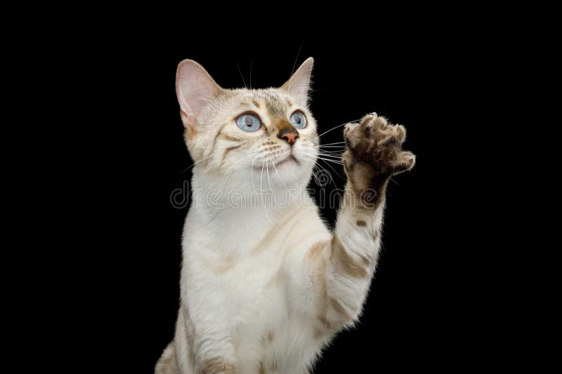 Snow white Bengal Cat isolated on Black Background. Portrait of Snow White Bengal Cat with Blue eyes Raising up paw, want touch, on isolated Black Background royalty free stock photography