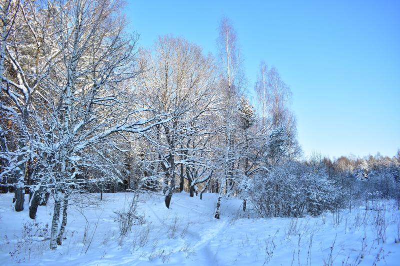 Snow-white carpet, fluffy snow, rough trunks, spread bare branches, withered grass, dark menacing forest, Sunny day. Clear sky, the trees seemed to part stock photos