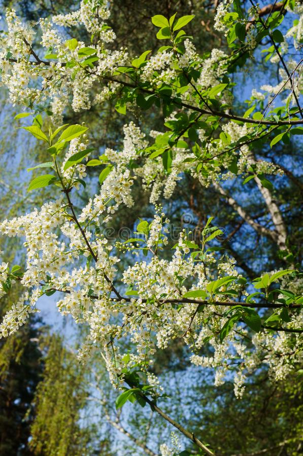 The snow-white flowers of the bird cherry against the background of spring greens.  stock images