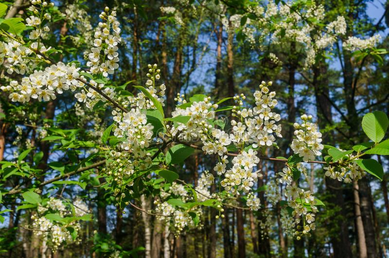 The snow-white flowers of the bird cherry against the background of spring greens.  stock photography