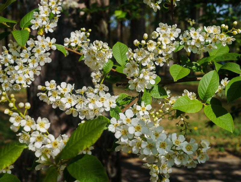 The snow-white flowers of the bird cherry against the background of spring greens.  royalty free stock photo