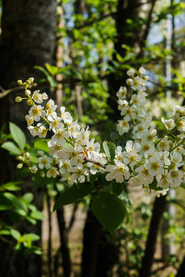 The snow-white flowers of the bird cherry against the background of spring greens.  stock photos