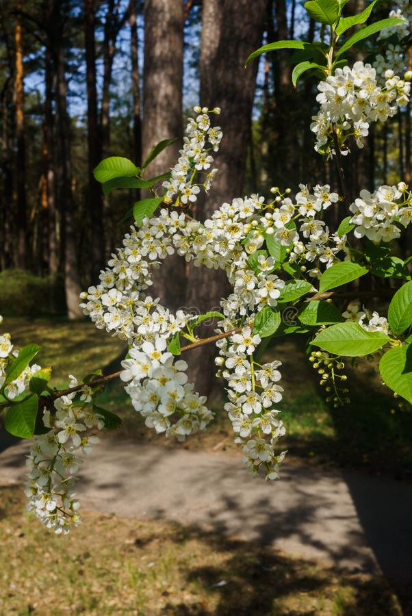 The snow-white flowers of the bird cherry against the background of spring greens.  royalty free stock image