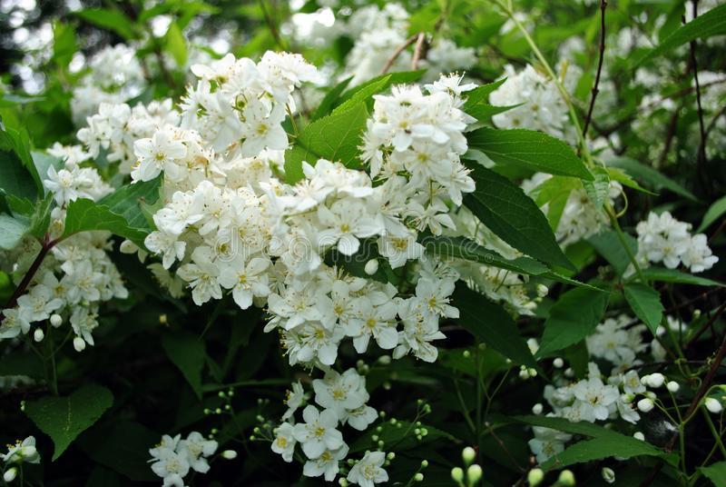 Snow white jasmine flowers and green leaves on branches, close up. Detail stock photos