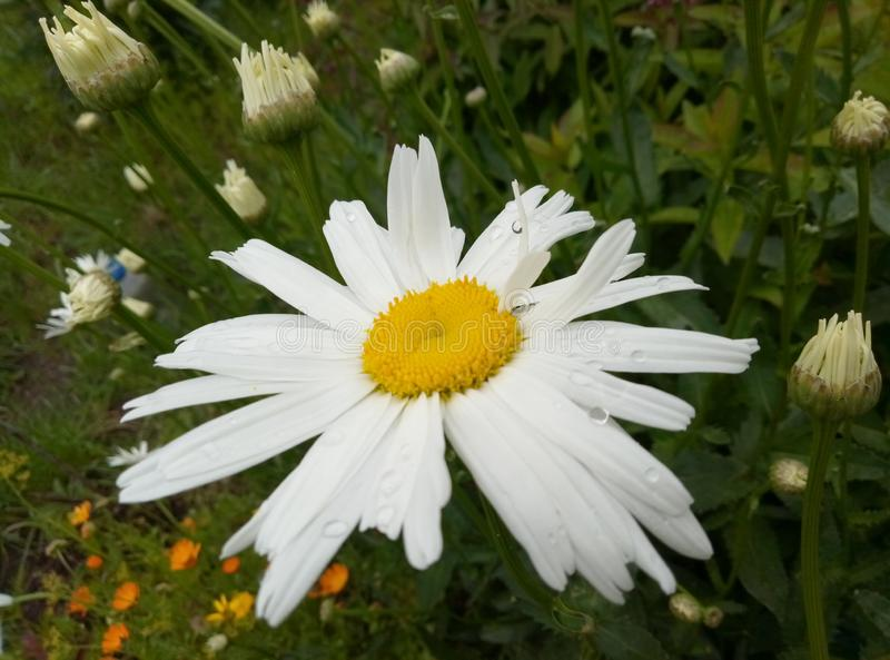 Chamomile plant in which there is a bit of sun royalty free stock image
