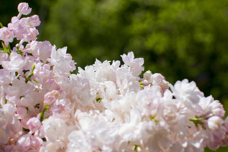 Snow-white pink lilac hanging over a green background stock photography