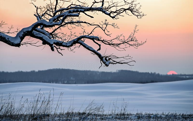 Snow Winter field and branches of oak trees at sunset. stock photo