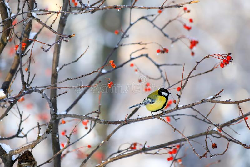 Snow Winter landscape in the park, beautiful bird Tit sits in the winter on a branch of mountain ash. With red berries royalty free stock photography