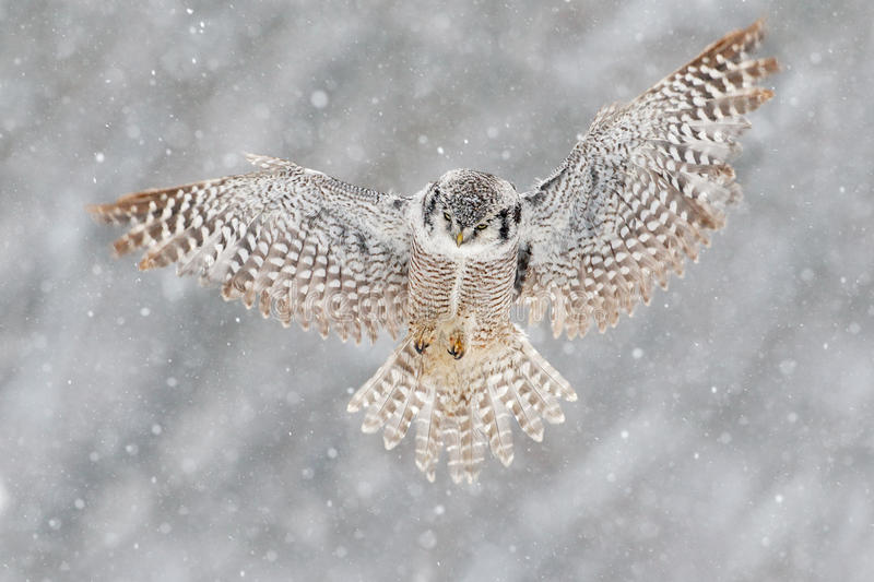 Snow winter scene with flying owl. Hawk Owl in fly with snowflake during cold winter. Wildlife scene from nature. Storm with fligh. T bird stock photos