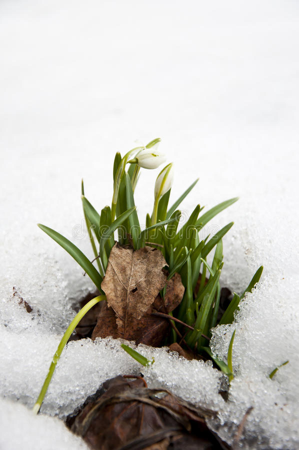 Snowbell Soldanella Flowers Sprouting Through Snow royalty free stock images