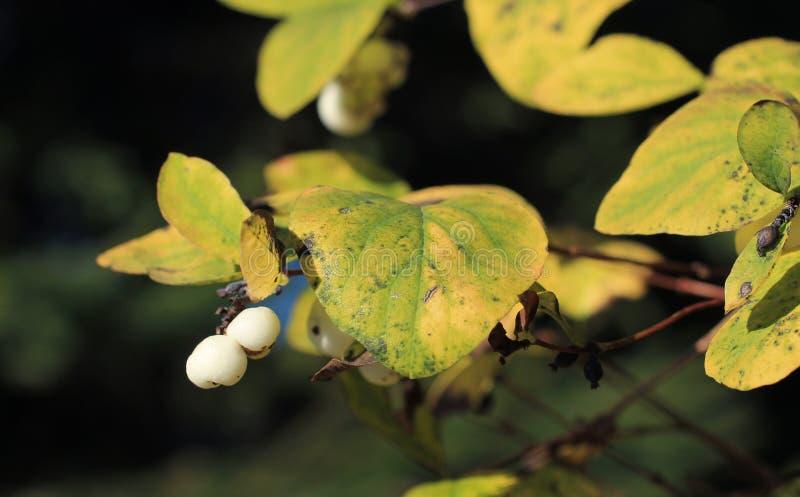 Snowberries fotografia stock