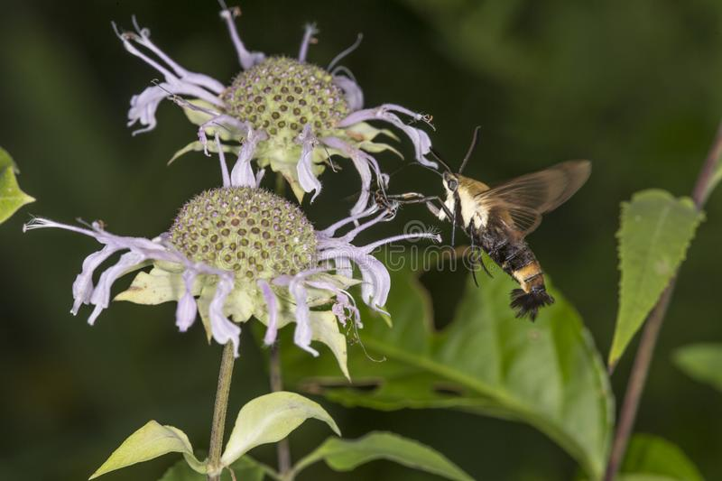 Snowberry clearwing hawk moth hovering at a bee balm flower. stock image