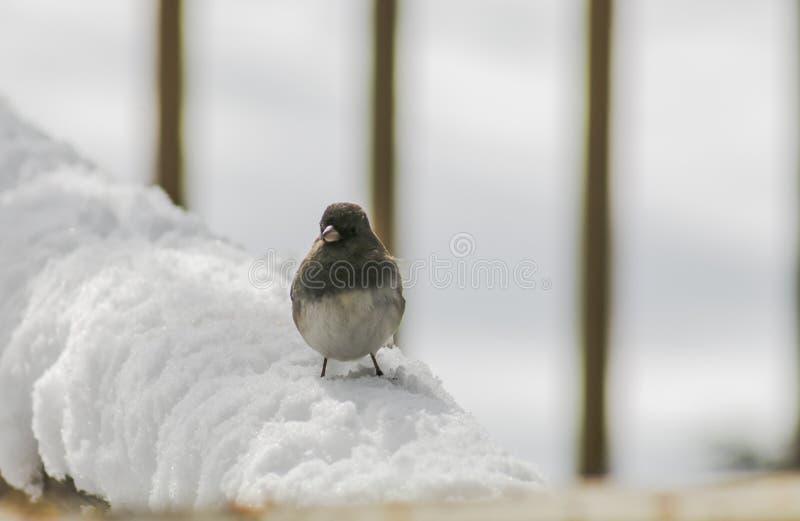 Snowbird в снеге (2) стоковое фото rf
