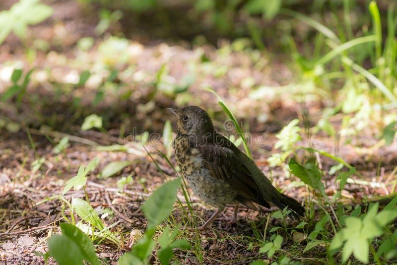 Snowbird del polluelo en primavera imagen de archivo