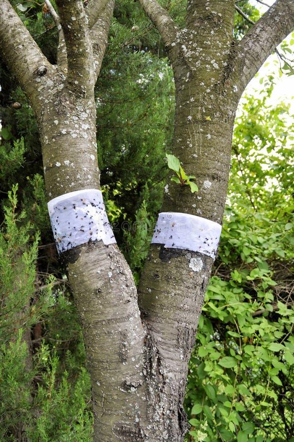Snowboardriemen op een boom voor bescherming tegen mieren stock foto