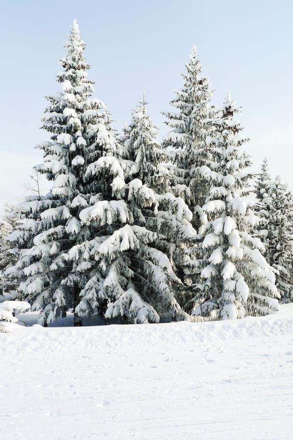 Snowbound ели в районе через Lattea, Италию стоковое фото rf