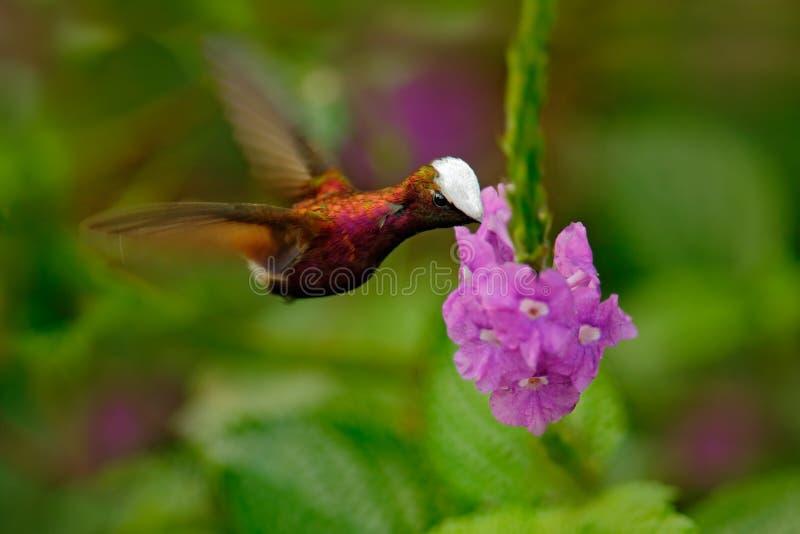 Snowcap, albocoronata di Microchera, colibrì raro da Costa Rica, volo rosso-viola accanto al bello fiore rosa, azione f dell'ucce immagine stock libera da diritti