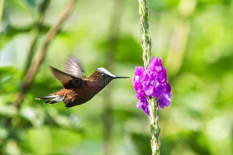 Snowcap, voando ao lado da flor violeta, pássaro da floresta tropical da montanha, Costa Rica, habitat natural, endêmico imagens de stock