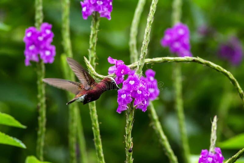 Snowcap, volante accanto al fiore viola, uccello dalla foresta tropicale della montagna, Costa Rica, habitat naturale, endemico fotografia stock libera da diritti