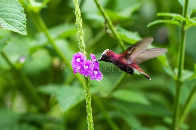 Snowcap, volante accanto al fiore viola, uccello dalla foresta tropicale della montagna, Costa Rica, habitat naturale, endemico immagini stock libere da diritti