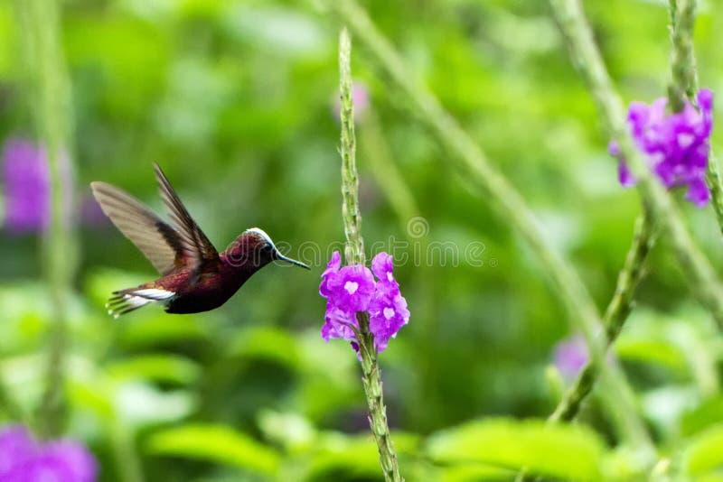 Snowcap, volante accanto al fiore viola, uccello dalla foresta tropicale della montagna, Costa Rica, habitat naturale, endemico fotografie stock