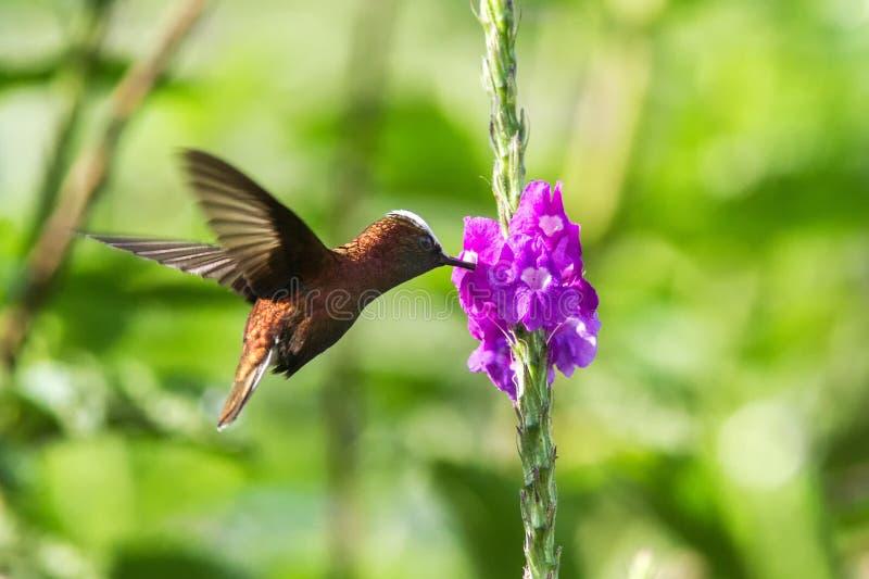 Snowcap, volante accanto al fiore viola, uccello dalla foresta tropicale della montagna, Costa Rica, habitat naturale, endemico immagine stock libera da diritti
