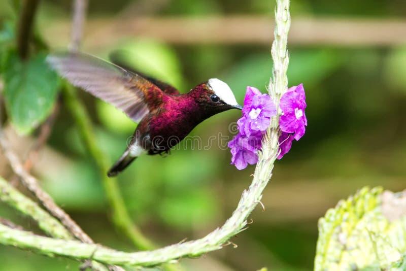 Snowcap, volante accanto al fiore viola, uccello dalla foresta tropicale della montagna, Costa Rica, habitat naturale, endemico immagine stock