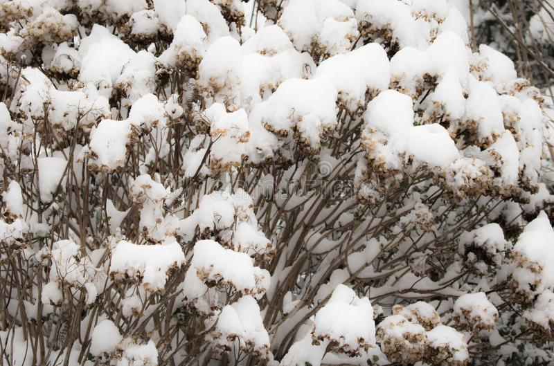 Snowcapped dry flowers texture pattern in winter season, first snow in springtime royalty free stock image