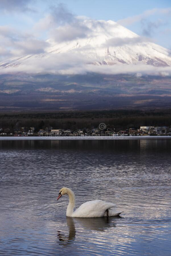Snowcapped volcano mountain in cloudscape against with white swan swim in Yamanakako lake royalty free stock photos