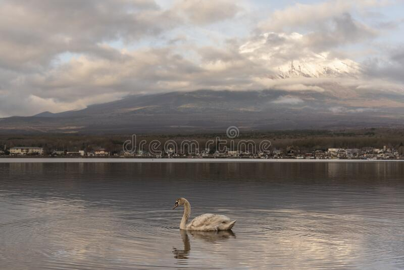 Snowcapped volcano mountain in cloudscape against with white swan swim in Yamanakako lake royalty free stock image