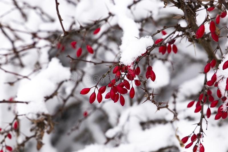 Snowcovered Barberry in Czech village. Snowcovered japanese Barberry in Czech village stock image