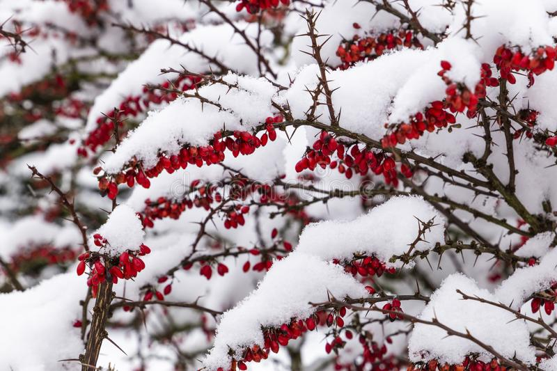 Snowcovered Barberry in Czech village. Snowcovered japanese Barberry in Czech village stock images