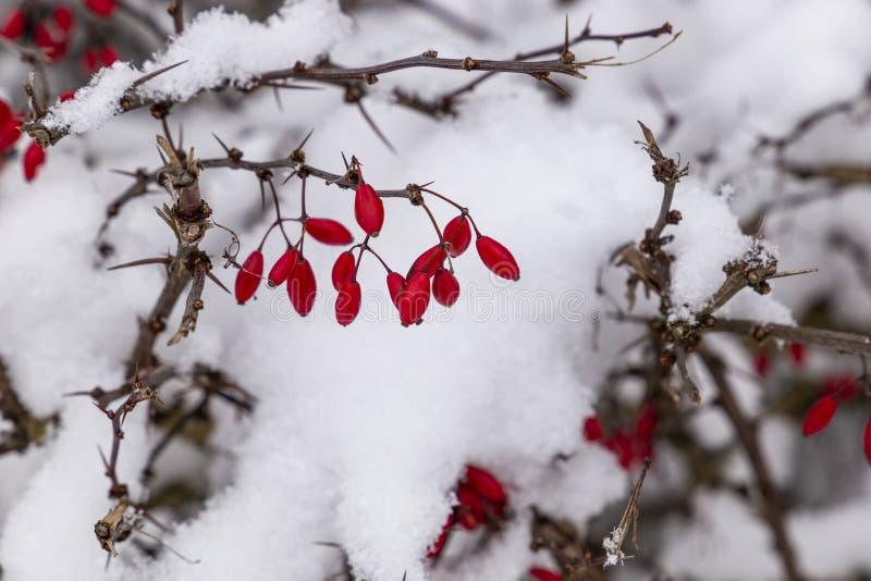 Snowcovered berberys pospolity w Czeskiej wiosce fotografia stock
