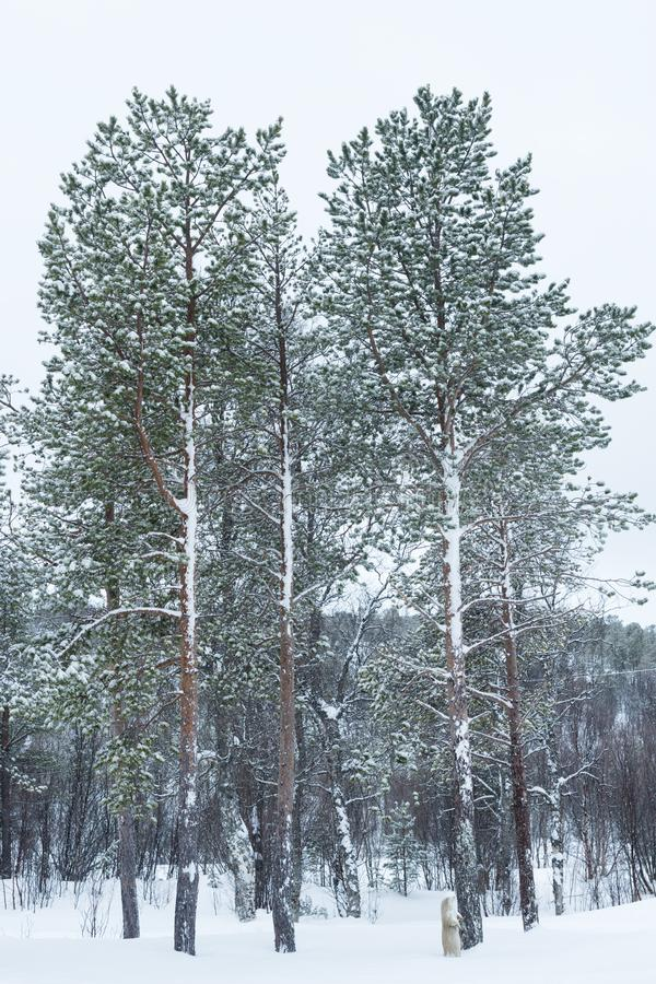 Snowcovered forest in the Arctic. Snowcovered forest in arctic Norway during polar night, Balsfjord, Norway royalty free stock photos