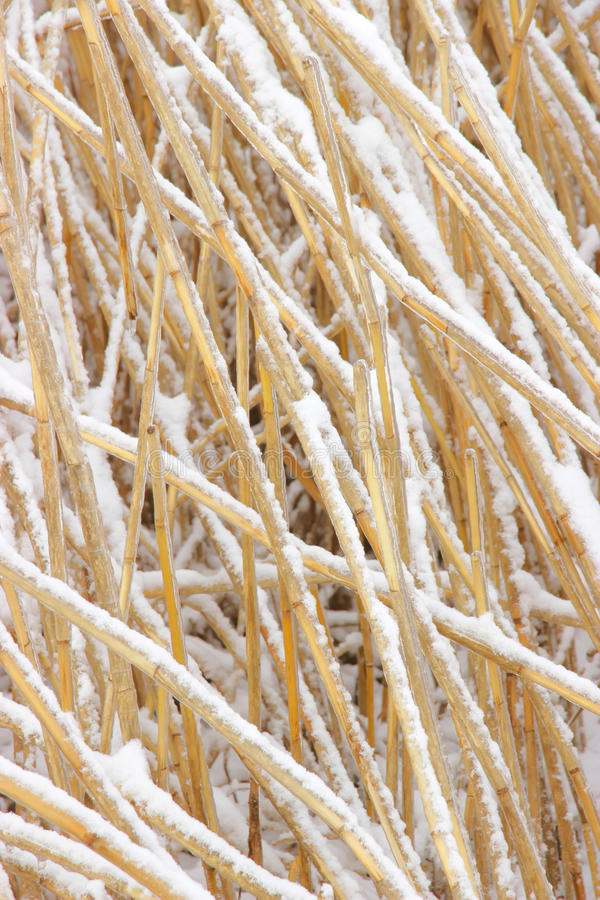 Snowcovered reed texture. Photo texture with snowcovered and ice-covered reeds royalty free stock image