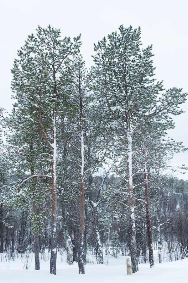 Snowcovered Wald in der Arktis lizenzfreie stockfotos