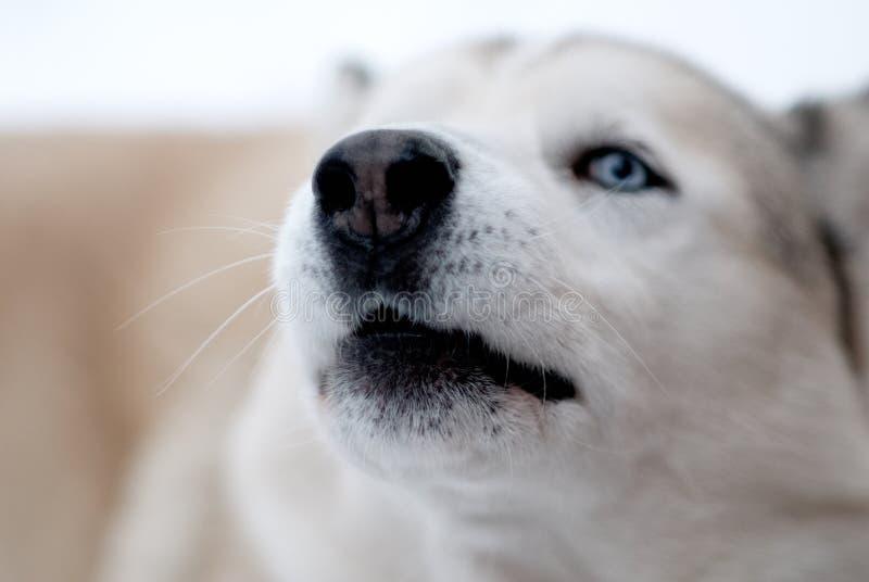 Snowdog fotografia stock