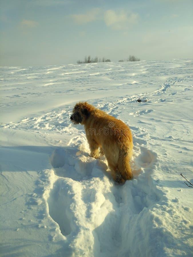Snowdog immagini stock