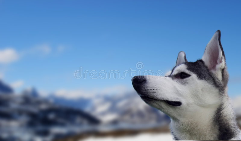 Snowdog immagine stock