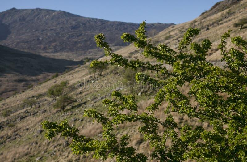 Snowdonia, Gales norte - os montes e um arbusto fotografia de stock royalty free